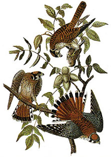 sparrowhawks