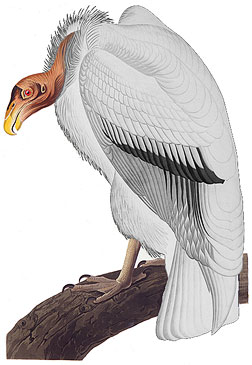 Noir Vulture